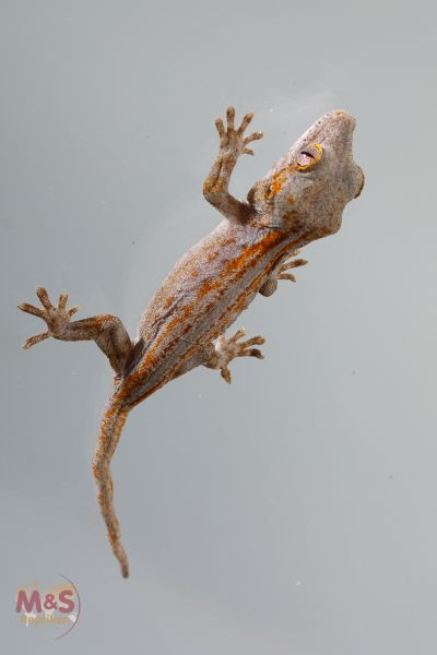 Höckerkopfgecko ( Red Orange Striped) ( small ) NZ´18 Rhacodactylus auriculatus (Originalbild)