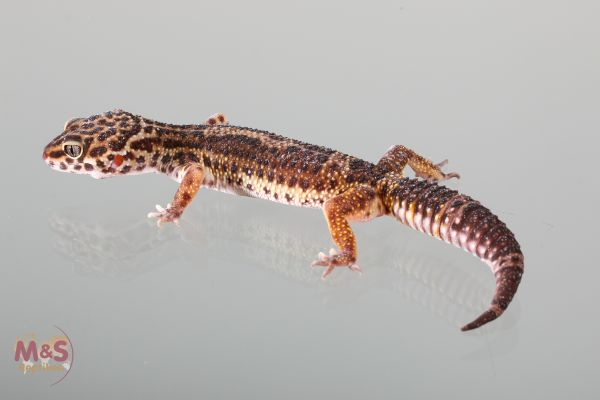 0.1 (Female) Black Night Leopardgecko (adult ) NZ´18 E. macularius (Originalbild)