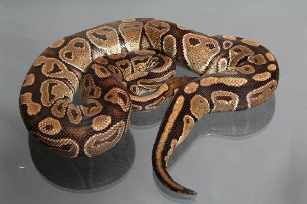 Female (0.1) Genetic Jungle, ca. 1,6 Kg NZ´M&S´08 Python regius