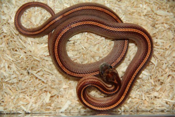 "0.1 (Female) Tessera ""Striped"" Kornnatter NZ´adult Pantherophis guttatus (Symbolbild)"