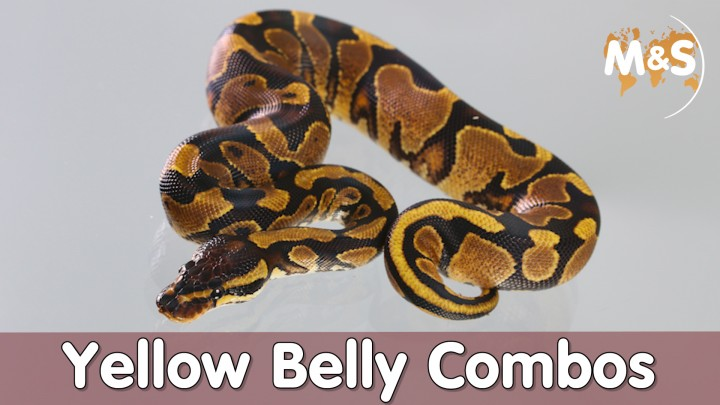 2021-03-19-Yellow-Belly-Combos