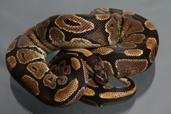 Female (0.1) Genetic Jungle, ca. 1,3 Kg NZ´M&S´09 Python regius