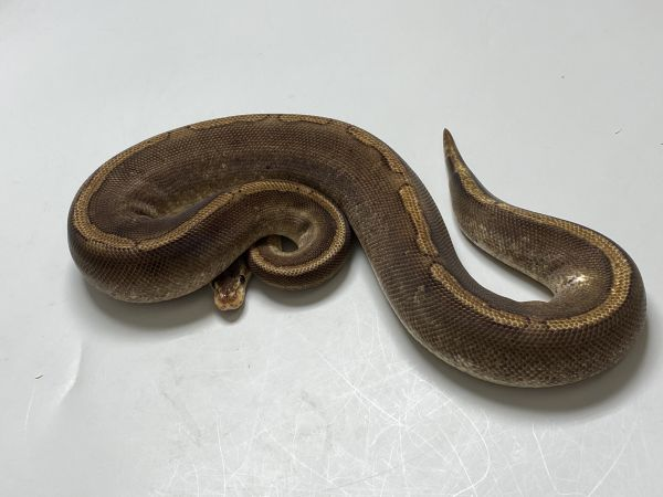 Female (0.1) Champagne Poss. Gravel (Poss. Highway-Maker ca.800g.) NZ´M&S´15 Python regius